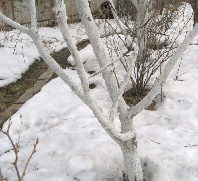 побеленная под зиму яблоня