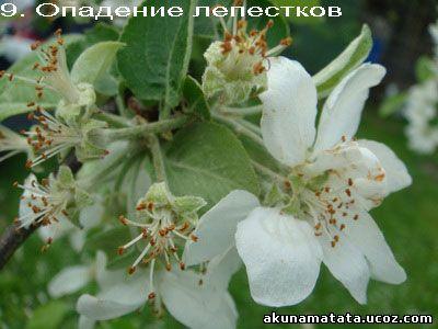 опадение лепестков яблони