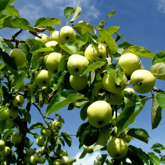 Сорт яблони Раннее сладкое
