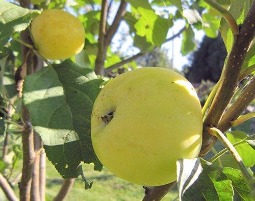 Сорт яблони Китайка золотая ранняя