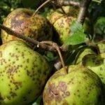 Яблоня, поражённая паршой