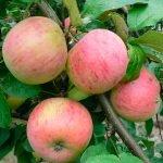 Яблоки сорта Осеннее полосатое