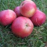 Яблоки сорта Белорусское сладкое