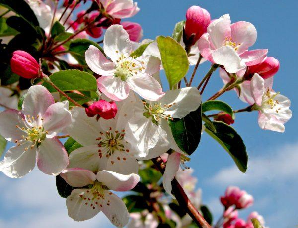 Яблоня в вашем саду и весенняя химия: как не переусердствовать