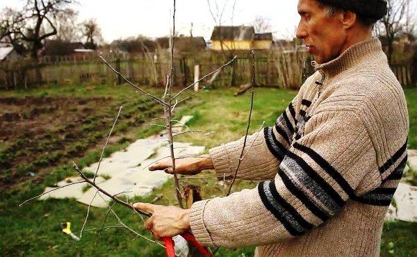 Посадка яблони осенью