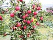 яблони с плодами