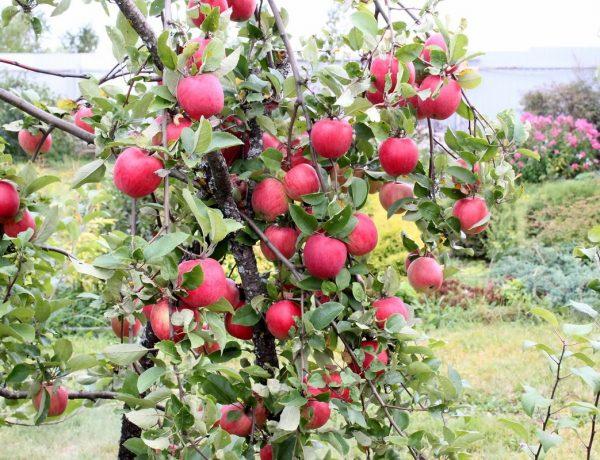 Как правильно посадить яблони и ухаживать за ними