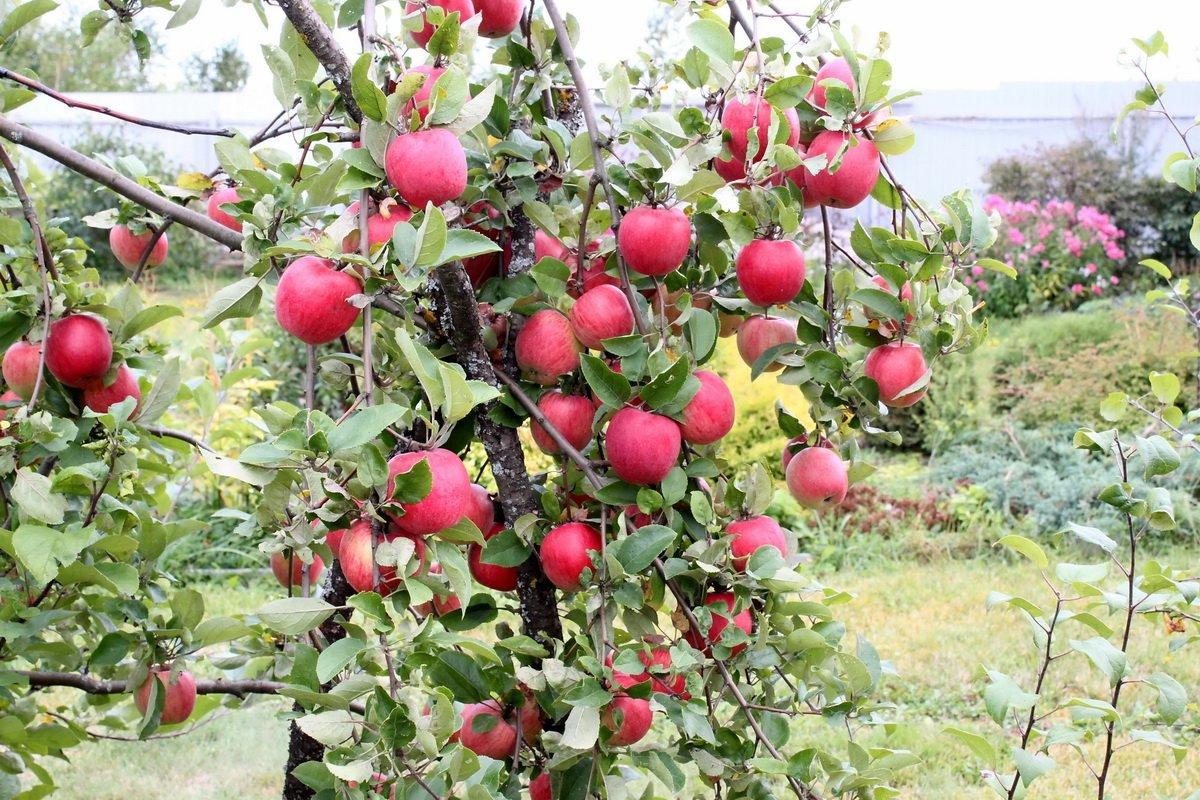 Когда лучше всего сажать яблони на даче
