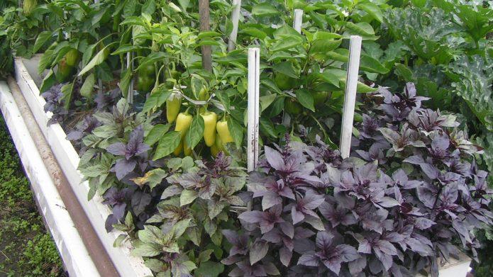 Смешаные посадки огородных культур