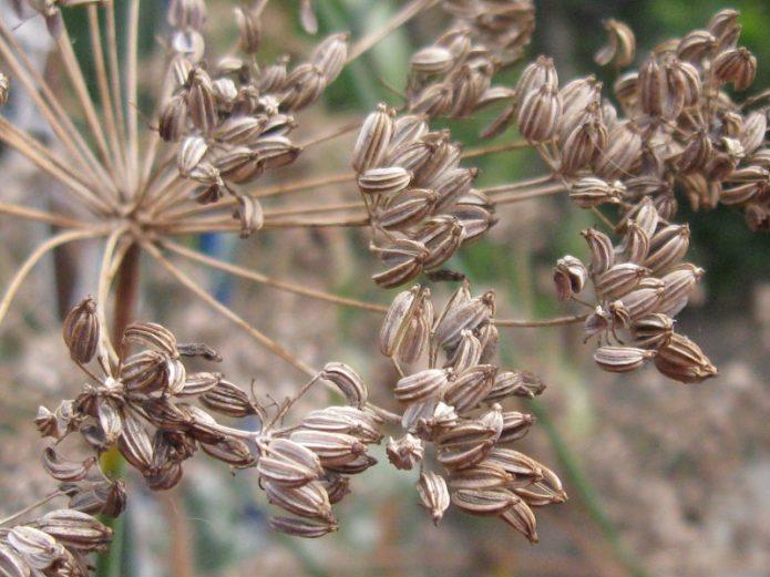 Сухие соцветия фенхеля