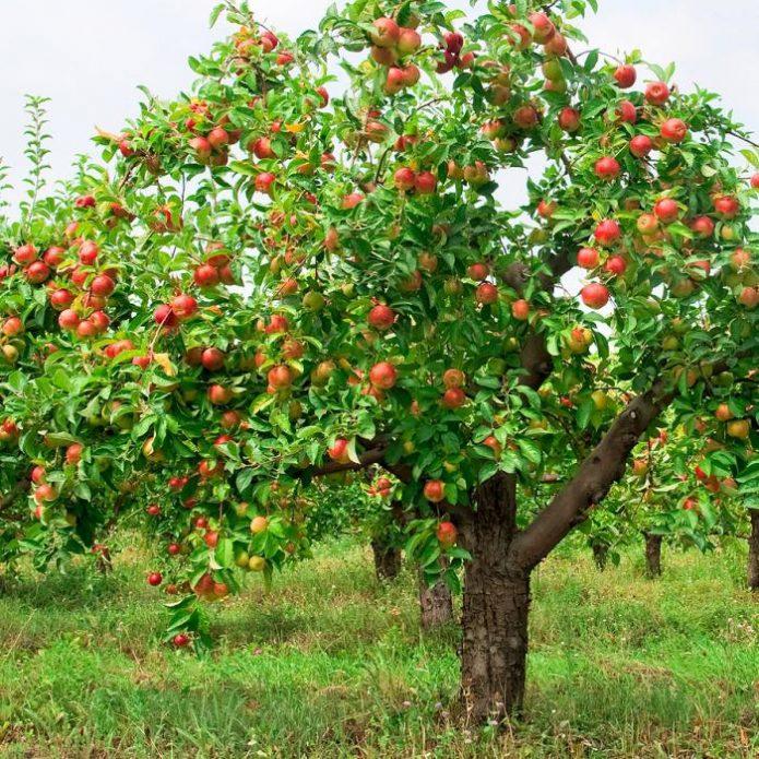 хороший урожай яблони