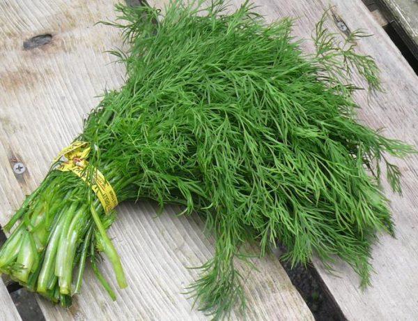 Укроп: выращивание и популярные сорта