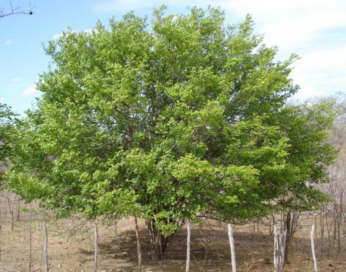 Взрослое дерево унаби