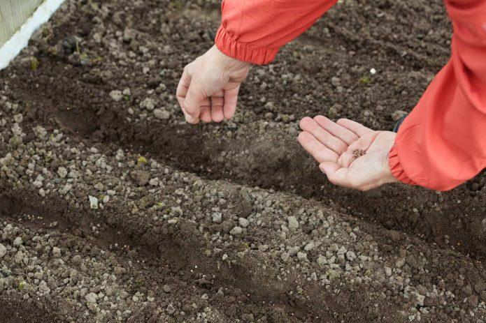 Посев семян фенхеля в грунт
