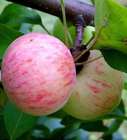 Яблоки сорта Грушовка Московская