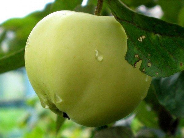 Яблоко сорта Папировка
