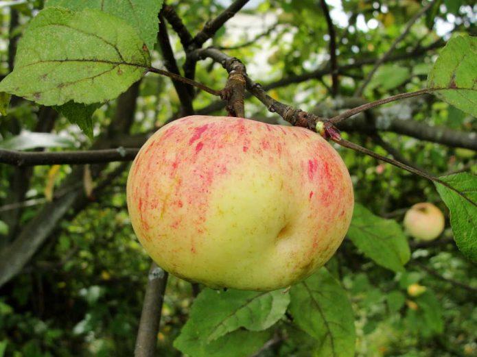 Яблоко сорта Коричное Новое