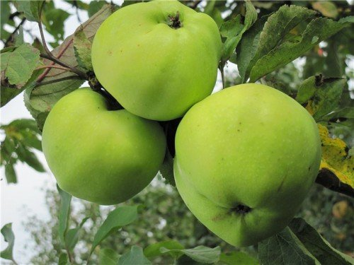Яблоки сорта Славянка