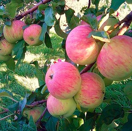 Яблоки сорта Спартак