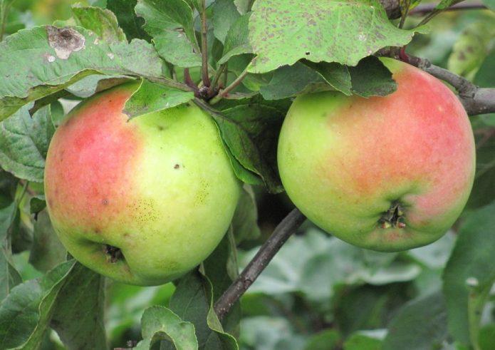 Яблоки сорта Синап Северный
