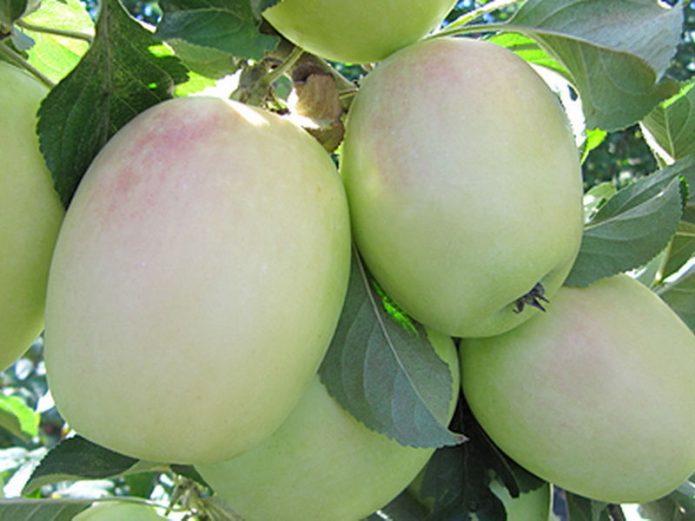 Яблоки сорта Розмарин Русский