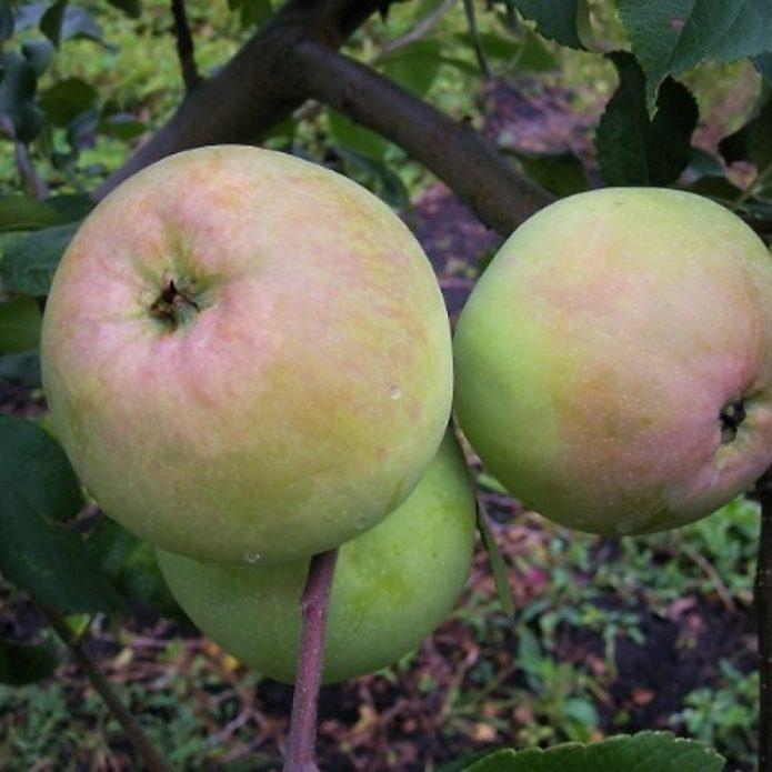Яблоки сорта Кутузовец
