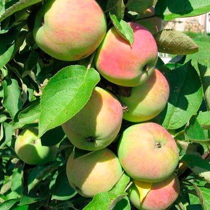 Яблоки сорта Президент