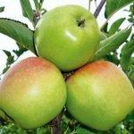Яблоки сорта Ренет Кубанский
