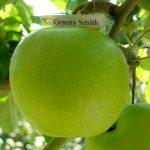 Яблоки сорта Гренни Смит