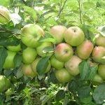 Яблоки сорта Вербное