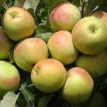 Яблоки сорта Заря Алатау