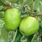 Яблоки сорта Зимнее Лимонное