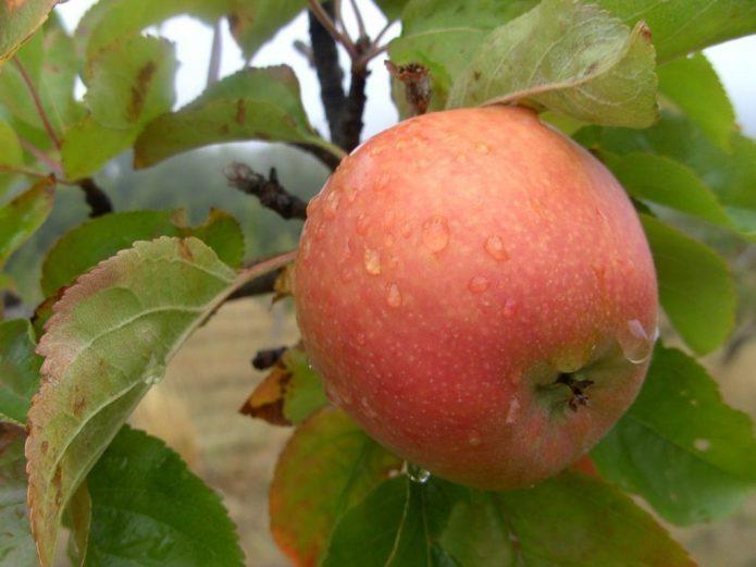 Яблоки сорта Дельбар Жюбиле