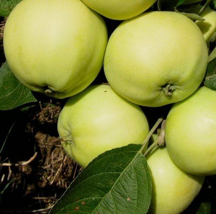 Сорт яблони Папировка