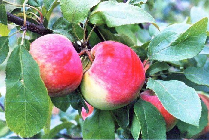 Сорт яблони Московская грушовка