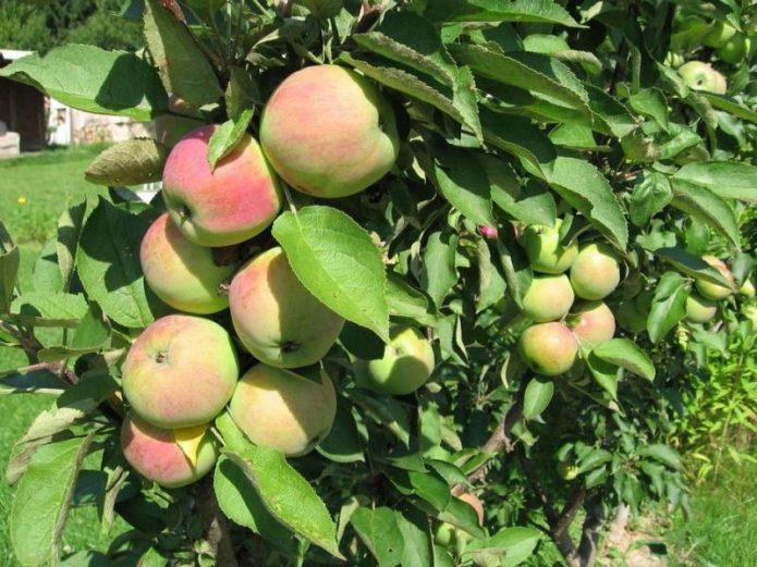 Сорт яблони Диалог