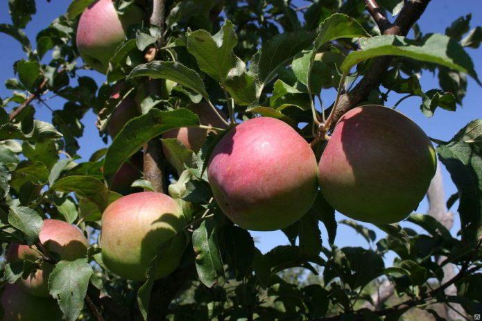 Сорт яблони Сергиана