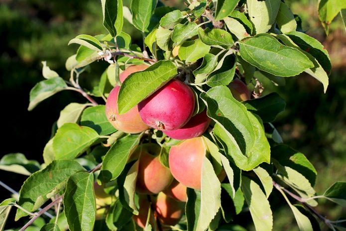 Сорт яблони Женева Эрли