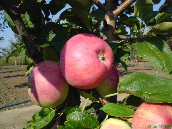 Сорт яблони Клоуз