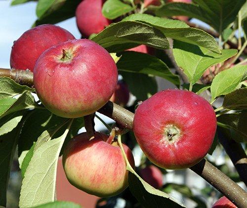 Яблоня сорта Серебряное копытце