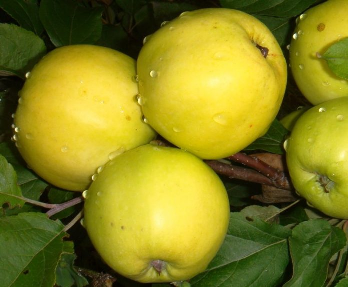 Сорт яблони Чудное