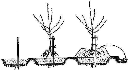 Схема высадки абрикоса на холм