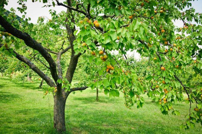Взрослое дерево абрикоса