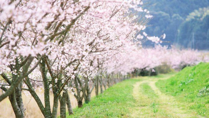Цветущие деревья абрикоса