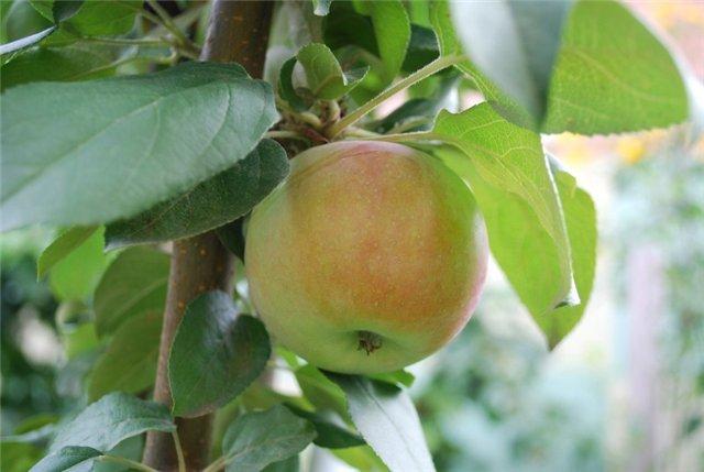 Яблоко сорта Подснежник