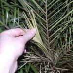 Подсыхание молодых побегов пальмы