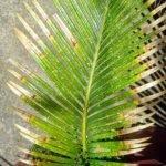 Пожелтение листьев пальмы