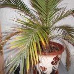 Засохшие коричневатые кончики листьев пальмы
