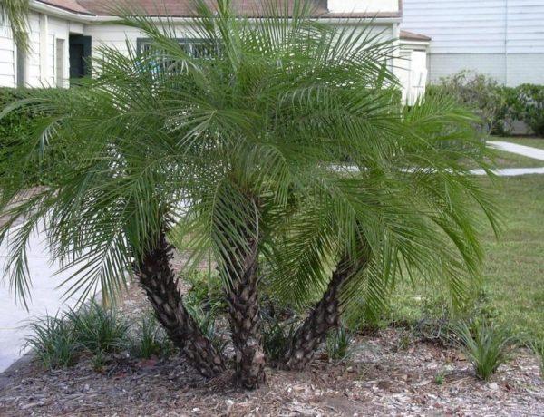 Финиковая пальма: тонкости посадки и ухода за экзотическим растением