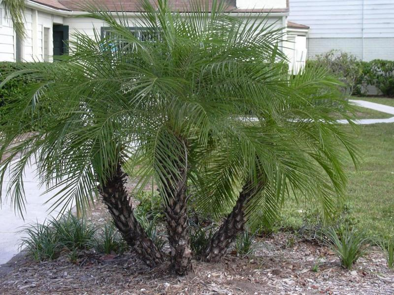 Пальма в домашних условиях уход из косточки